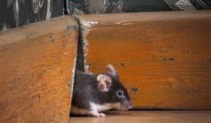 trous de souris à colmater